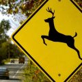As Deer Mating Season Approaches and Daylight Hours Get Shorter, Be Extra Cautious on The Roads!